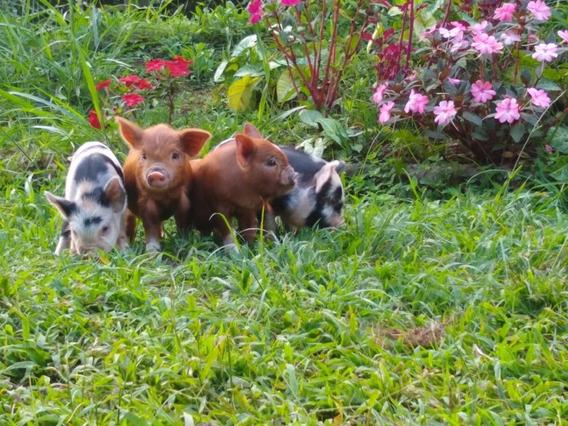 Mini Porco Fêmea - Excelente Linhagem - Filhotes