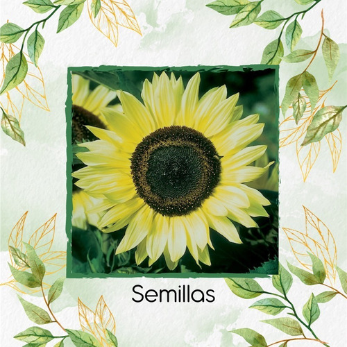 10 Semillas Flor Girasol Monshine + Obsequio Germinación