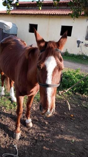 Imagem 1 de 5 de Cavalo Quarto De Milha 9 Anos Com Exames Feitos!