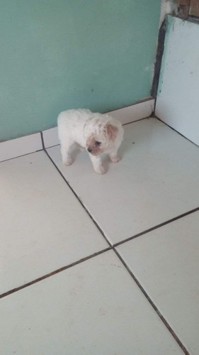 Poodle Mini Toy Lindo