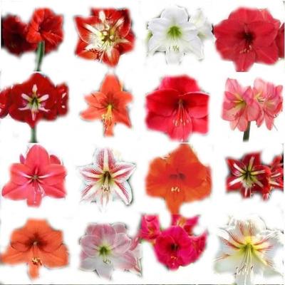 Bulbos De Flores Amarílis Gladíolos Lírios Dálias - Serviços