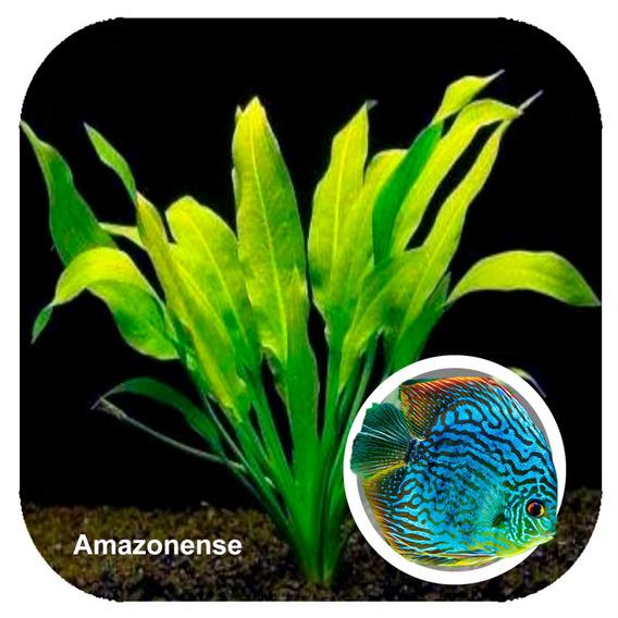 Muda Peq Echinodorus Amazonense P/ Aquário Low Tech
