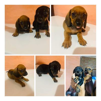 Vendo Cachorros Dachshund Salchichas Macho Y Hembra.