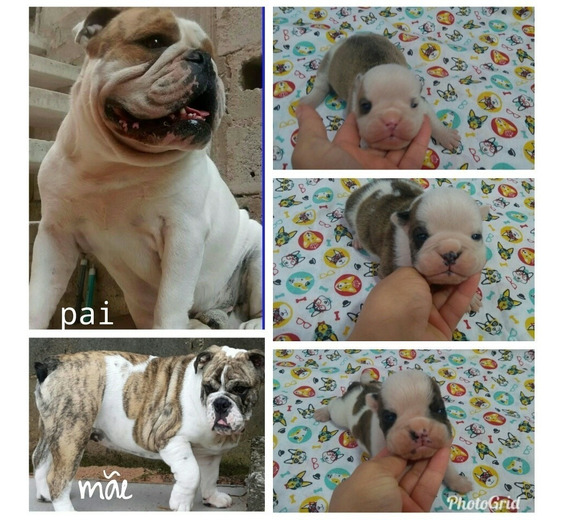 Bulldog Inglês Macho Para Reserva