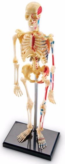 Esqueleto Humano Modelo Anatomico 41 Piezas Envio + Meses