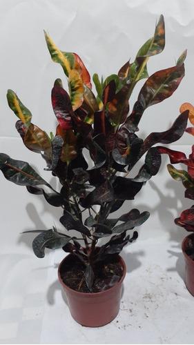 Croton Tirabuzon