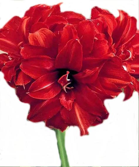 Bulbos De Flores | Amarílis - Amaryllis Bingo Dobrada