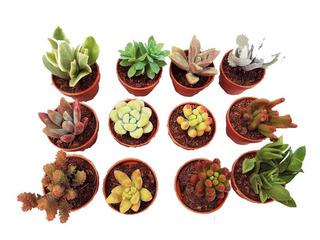 Plantas Suculentas Minis Surtidas Maceta Plastico 3cms Diam