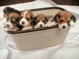Beagle Cachorros Padres Presentes