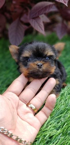 Imagen 1 de 6 de Yorkshire Terrier Teacup Garantizado