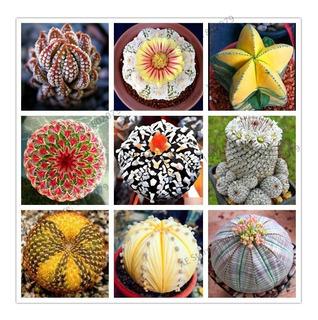 Mix 100 Semillas!! Cactus + Lithops