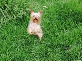 Hermozos Cachorritos Yorkshire Terrier Toy Machos