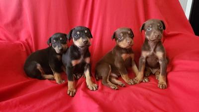 Criadero Vende Cachorros Doberman, Envío Para Todo El País