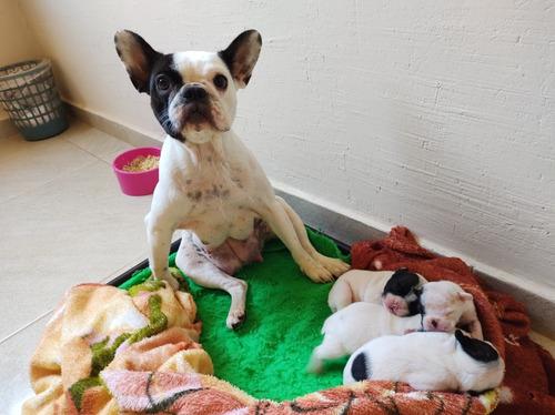 Filhotes De Bulldog Francês - Viçosa Mg