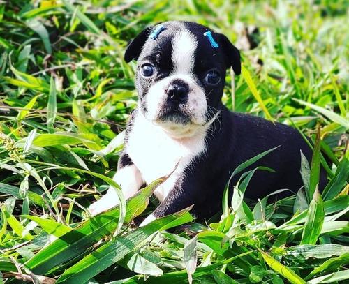 Imagem 1 de 1 de Boston Terrier Macho