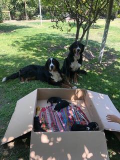 Cachorros, Boyero De Berna No Inscritos