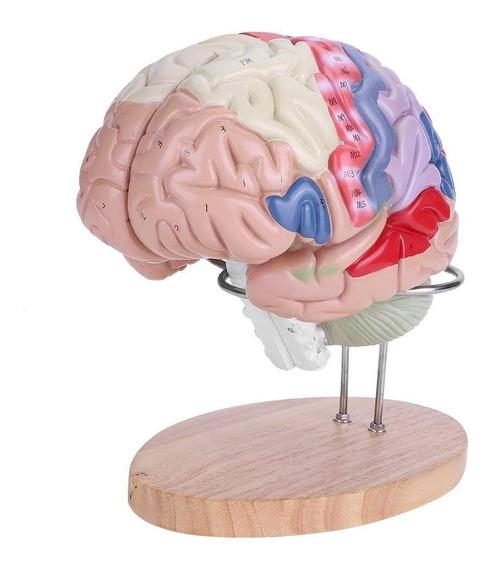 Akozon Modelo De Cerebro Humano Médico Anatómico Con Color