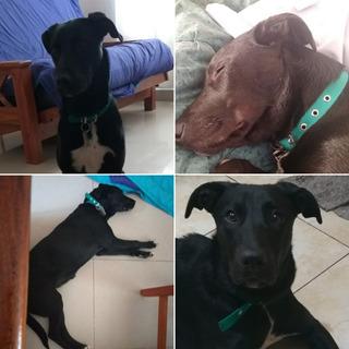 Perrita Cachorra Rescatada En Adopción Responsable