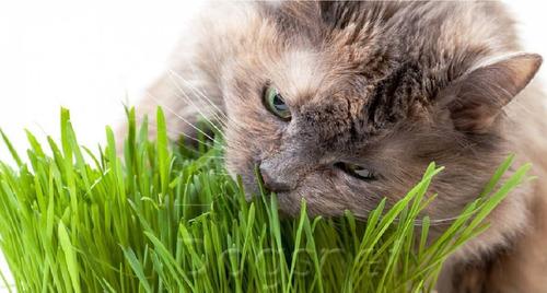 1001 Sementes De Grama Dos Gatos A Verdadeira  Frete Gratis