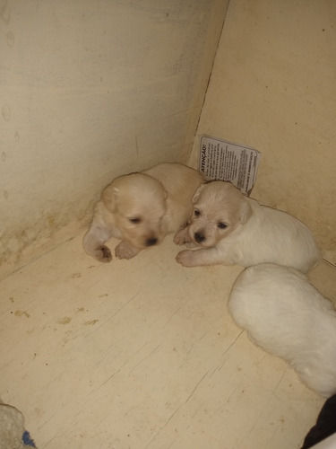 Imagem 1 de 4 de Filhotes De Poodle