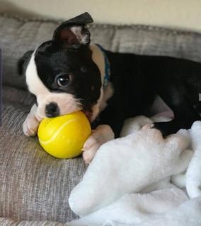 Boston Terrier Pequeños Pedigri Puros