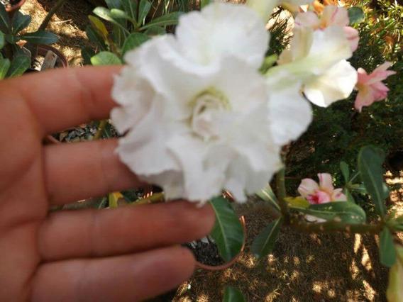 Rosa Do Deserto Branca Dobrada Muda De Semente