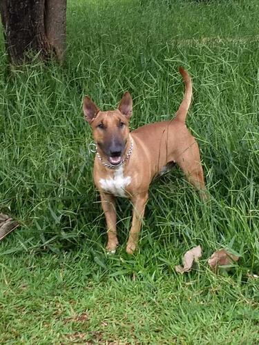 Imagem 1 de 5 de Bull Terrier