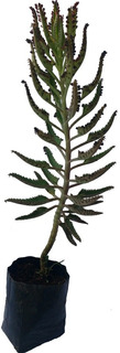 Kalanchoe Daigremontiana Planta Cultivo Natural 50 Cm Aprox
