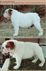 Semental Bulldog Inglés