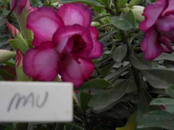 Rosa Do Deserto Mau - Cor 100% Garantida Dobrada Tripla