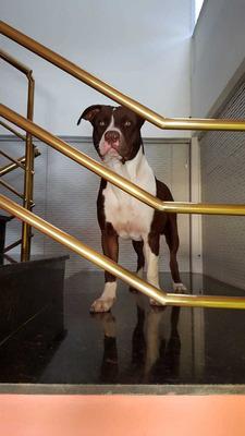 Cobertura American Pit Bull Terrier - Red Nose