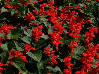 Semillas De Planta Salvia Roja Salvia Ornamental Colores ,