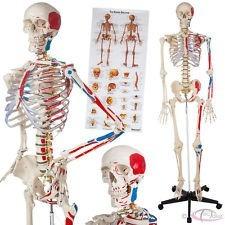 Modelo De Esqueleto Humano Con Ligamentos De 180cm