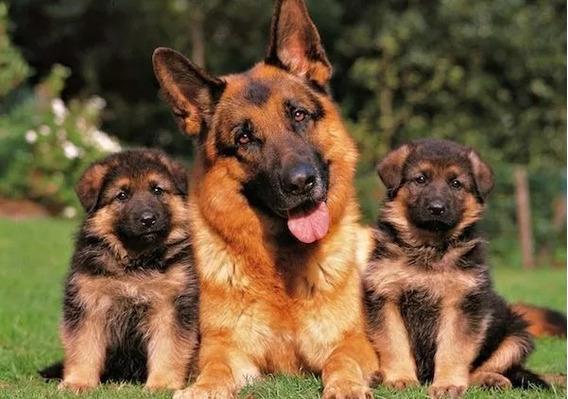 Cachorros Ovejeros Aleman !