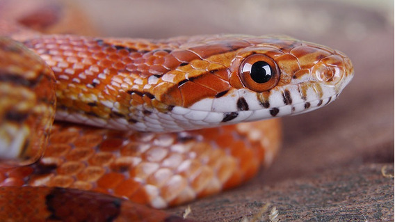Apostila Aprenda Como Criar Corn Snake