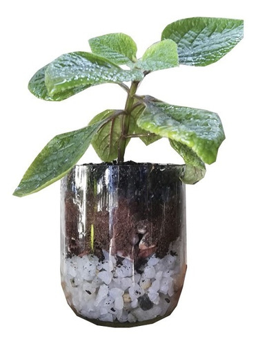 Imagen 1 de 5 de Dolar Negro Little Terrario 10, Maceta De Vidrio