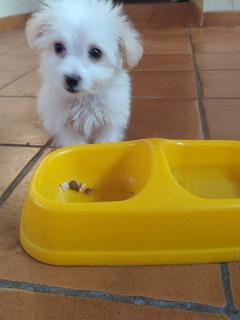 Cachorro Poodles Mini Toy