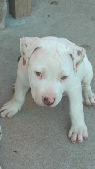 Filhote De Apbt American Pit Bull Terrier