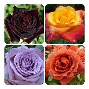 C/16 Mudas Rosas Varias Cores Verde Negra Amarela Lilas Azul