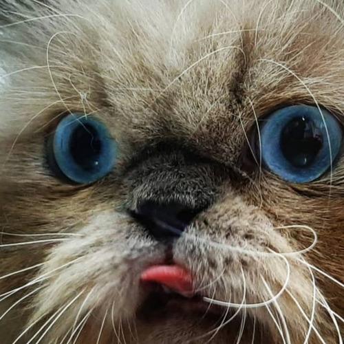 Imagen 1 de 5 de Gatos Persa Himalayos Eje Cafero Y A