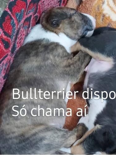 Bullterrier Macho