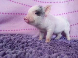 Mini Pigs Mini Pig Minipigs Minipig Apartados
