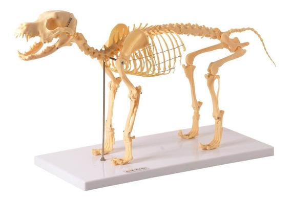 Esqueleto Anatomico De Cachorro Veterinaria Anatomia Animal