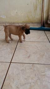 Boxer Lindos Cães Filhotes Já Vacinados Com Pedigree