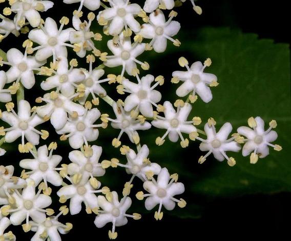 500 Gramos 100% Flores De Sauco Garantia Autenticidad