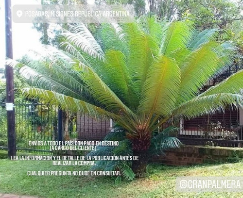 Palmera Cyca Circinalis - Deco, Piscinas, Paisajismo
