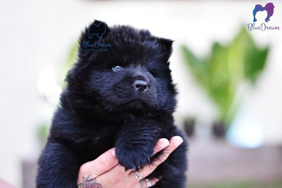 Cachorros Chow Chow Con Pedigrí Del Kennel Club Argentino