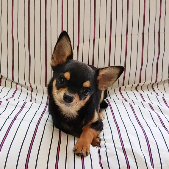 Filhote Chihuahua Macho Com Pedigree