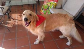 Golden Retriever, Lindos Filhotes, Enviamos Para Todo Brasil