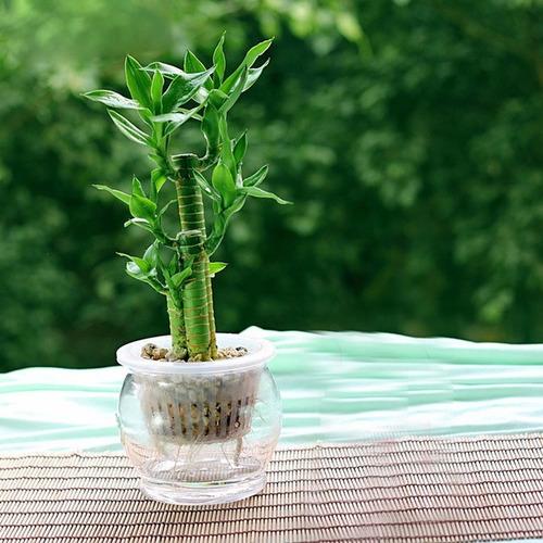 Sobre Para Sembrar 15 Plantas Cañas Bambu Mini Decoracion